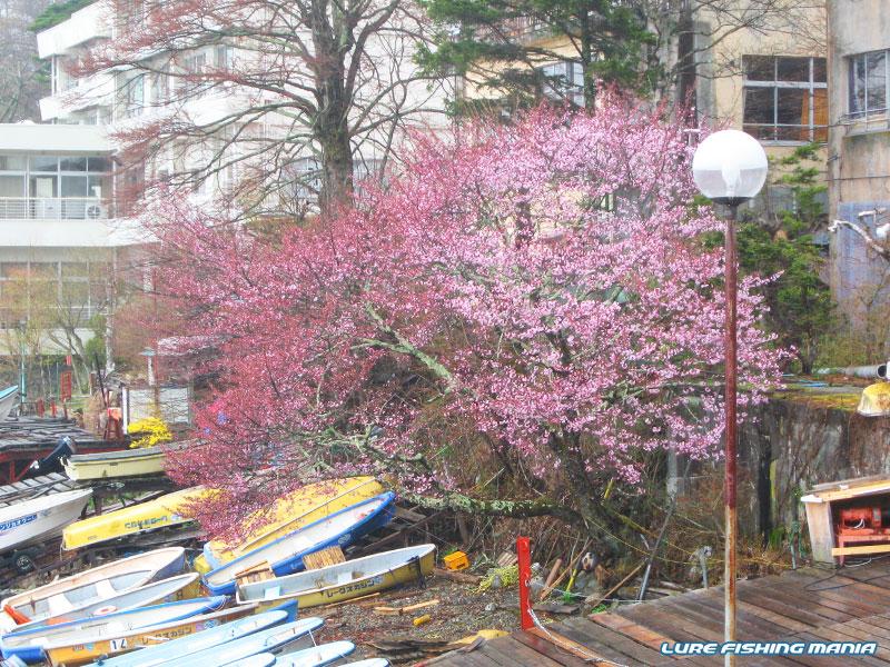 中禅寺湖は桜が満開でしたが、気分的に素直に鑑賞できず...
