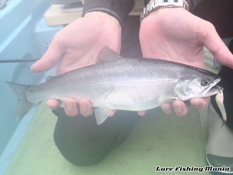 回遊魚ならではの美しい魚体...32cmのホンマス