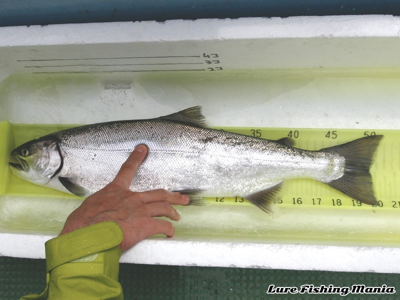全長51.5cm、尾叉長50cmジャストのホンマス