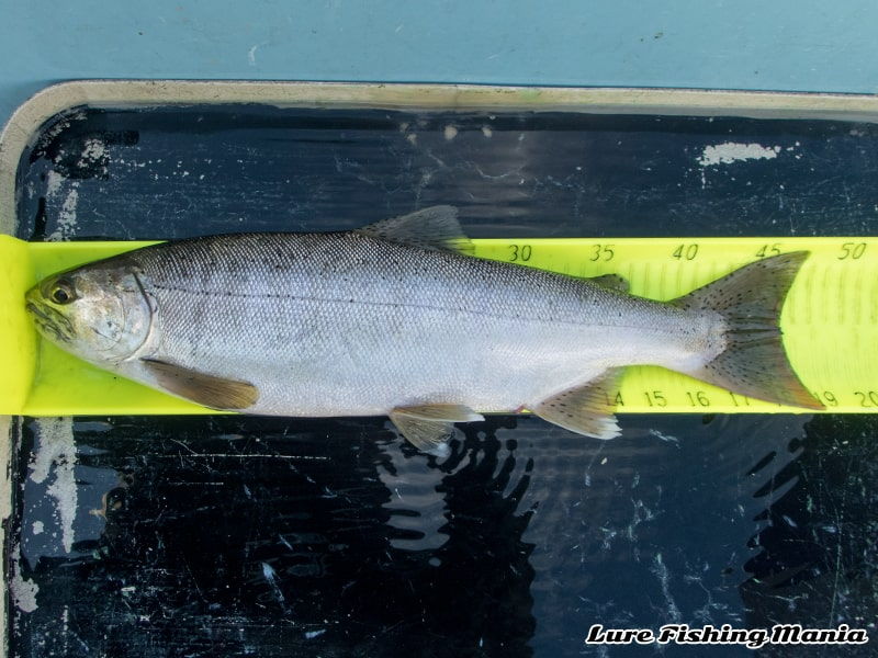 クアドラプルヒットの最後の魚はホンマス48.5cm